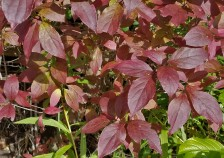 Gray dogwood in fall color