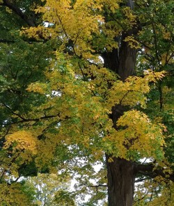 Another sugar maple, this on exhibiting yellow fall foliage