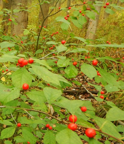 Spicebush with fruit