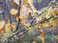 Very late witch-hazel flowers