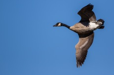 Migrant Canada geese are passing through WNY (photo by Paul Bigelow)