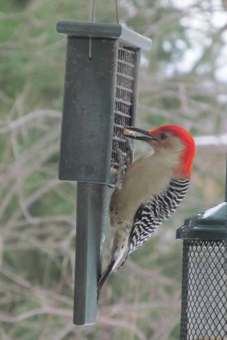 Red-bellied woodpecker visiting suet feeder
