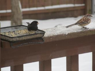 Junco and American tree sparrow feeding on white millet