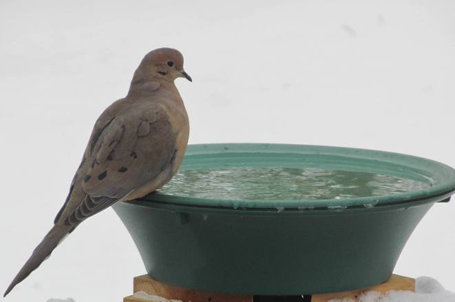 Mourning dove accessing water at heated bird bath