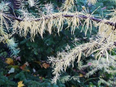 American larch needles exhibit golden fall color