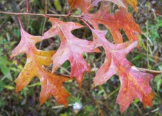 Pin oak leaves offer splashes of late fall color