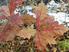 Northern red oak leaves provide some late fall color
