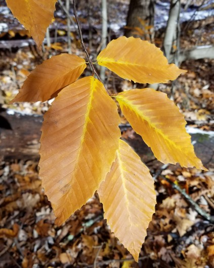 Many American beech leaves offer golden fall color