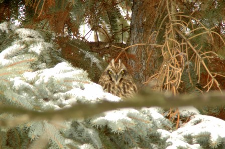 Short-eared owl in daytime conifer roost (photo by Tom Poczciwinski).