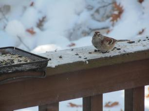 American Tree Sparrow visiting bird feeding station