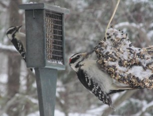 Downy & Hairy Woodpeckers visiting suet feeders