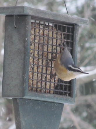 Red-breasted nuthatch visiting suet feeder
