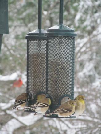 American Goldfinches visiting black oil sunflower feeders