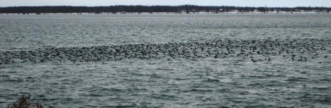 Large raft of diving ducks, mostly canvasback and scaup (photo by Jacquie Walters, NYSDEC)