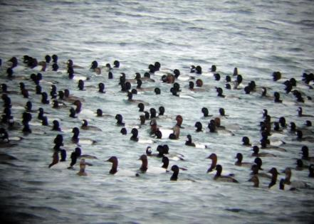 Large raft of diving ducks, mostly canvasback and scaup, plus a few redhead (photo by Jacquie Walters, NYSDEC)