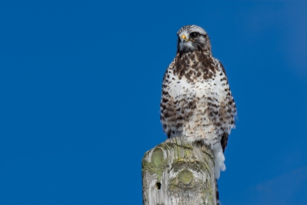 Perched light-morph rough-legged hawk (photo by David Crowe).