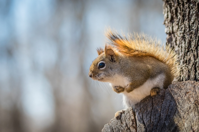 Red squirrel (photo by Paul Bigelow)