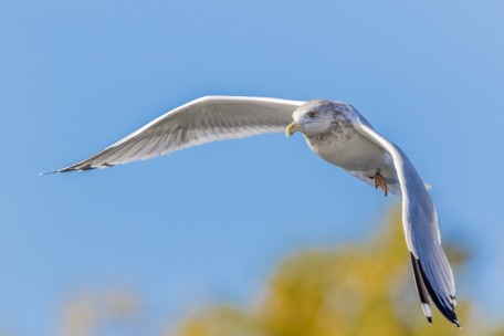 Herring Gull (photo by Paul Bigelow)