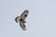 Light-morph rough-legged hawk in flight (photo by David Crowe).