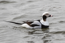 Drake long-tailed duck (photo by Paul Bigelow)