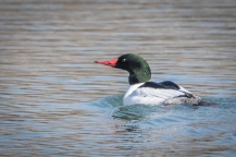 Drake common merganser (photo by Paul Bigelow)