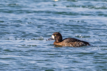Hen greater scaup (photo by Paul Bigelow)