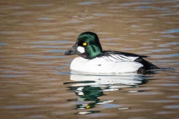 Drake common goldeneye (photo by Paul Bigelow)