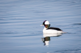 Drake bufflehead (photo by Paul Bigelow)