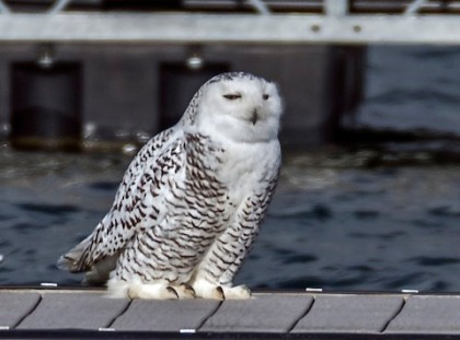 Snowy owl perched on dock at Buffalo Harbor State Park (photo by Ken Czworka).