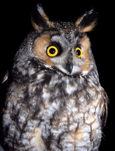Long-eared owl (photo by Tom Poczciwinski).