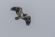 Juvenile bald eagle flying over Niagara River (photo by Paul Bigelow)