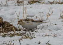 Snow bunting (photo by Paul Bigelow)