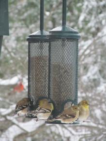 American goldfinches at black oil sunflower feeder