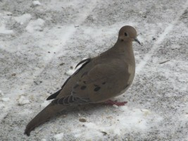 Mourning Dove visiting bird feeding station